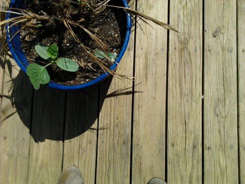 This pot is home to a deceased Saw Palmetto and a few birdhouse gourd plants.